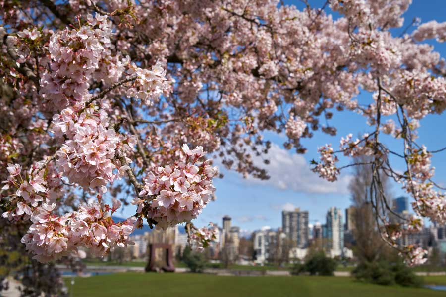 Sakura Season – Cherry Blossoms in High Park